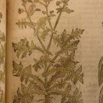 1597 1st John Gerarde Herball Plants English Herbal Illustrated Stirpium Botany