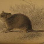 1841 Naturalists Jardine Mammalia Marsupial Kangaroo Koala Color Illustrated