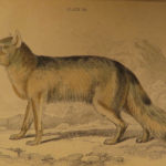 1844 DOGS Naturalists Jardine Mammalia Canine Wolf Wolves Fox Color Illustrated