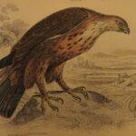 1838 Jardine BIRDS Ornithology Ireland & Britain Illustrated Falcons Owls Merlin