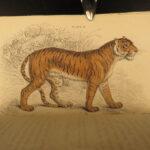 1834 CATS Lions Jaguars Tigers Bobcats Illustrated Jardine Naturalist Mammalia