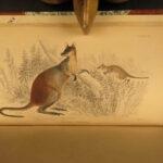 1841 Jardine Mammals Naturalists Marsupials Kangaroo Koala Color Illustrated