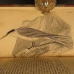 1837 Jardine BIRDS Ornithology AFRICA Gulls Pigeons Sunbirds Color Illustrated