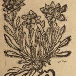 1689 HERBAL Botany Bauhin Plants Asia Africa America Phytopinax Flowers Cannabis